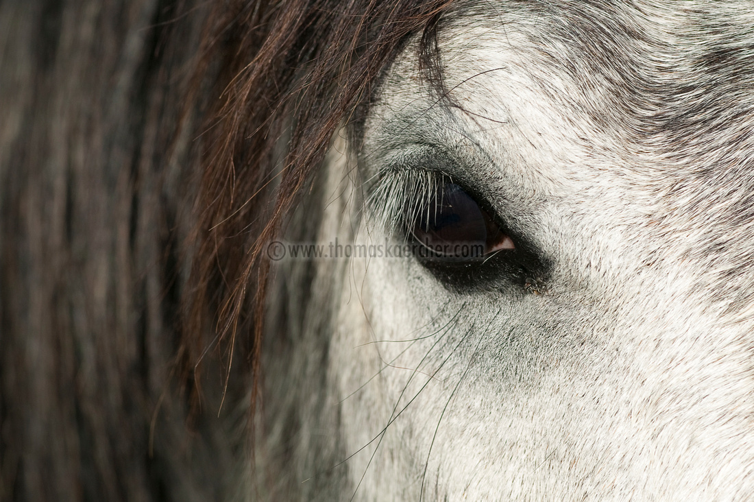 andalusian-horse