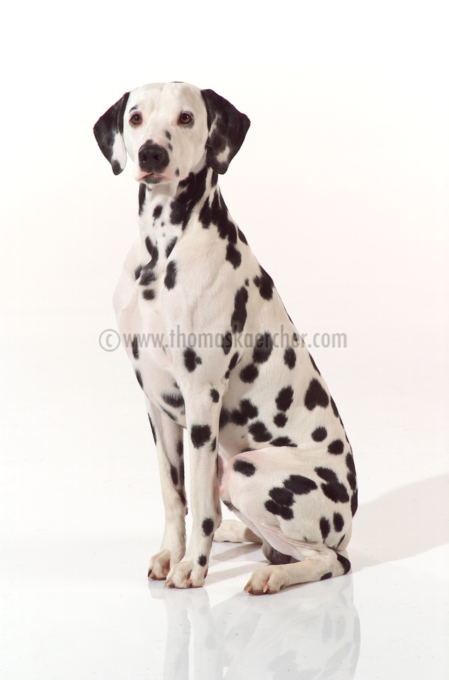 dalmatian-dog