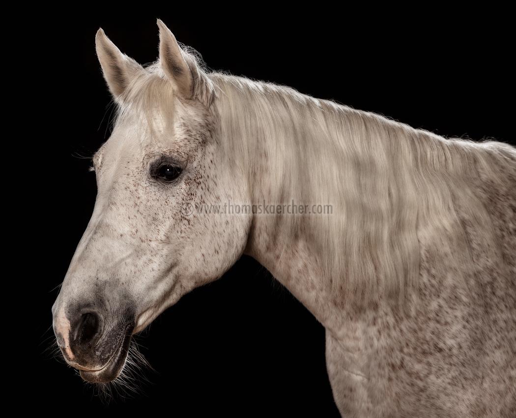 arabian-horse-871