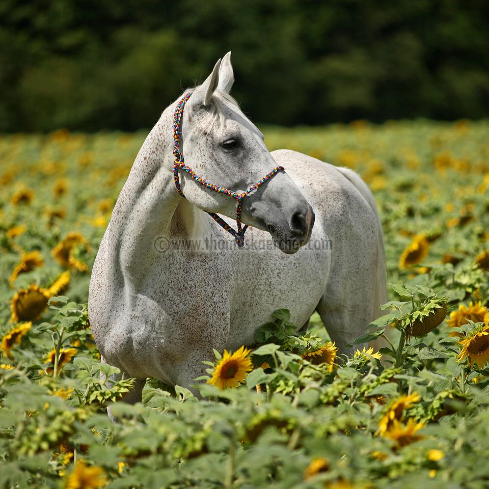 arabian-horse-with-sunflowers